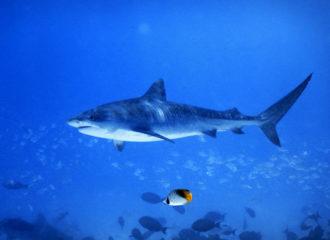 Tauchen mit Tigerhaien