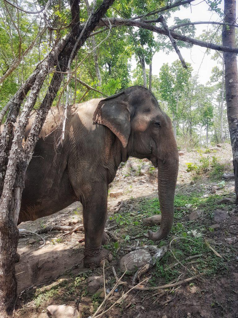 Elefanten im Bolaven Plateau